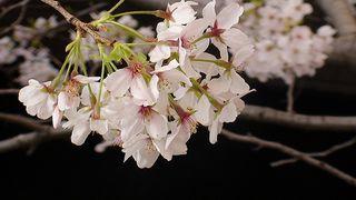 Megorogawa Sakura